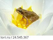 Купить «Waterlily, grass frog, Rana temporaria,  Bloom, sits,   Flower, animal, amphibian, frog, frog amphibian, wildlife,,», фото № 24545367, снято 16 августа 2018 г. (c) mauritius images / Фотобанк Лори