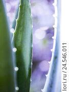 Купить «Aloe Vera leaf, close up,», фото № 24546011, снято 16 июля 2018 г. (c) mauritius images / Фотобанк Лори