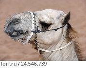 Купить «Camel, desert, portrait, side view,», фото № 24546739, снято 15 июля 2009 г. (c) mauritius images / Фотобанк Лори