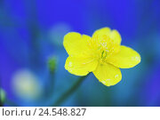 Купить «Creeping crowfoot, Ranunculus,  repens, detail, bloom, yellow,   Nature, vegetation, flora, botany, plant, flower, buttercup, Ranunkel, bloom head, petals, individually, background, fuzziness, blue,», фото № 24548827, снято 22 июля 2018 г. (c) mauritius images / Фотобанк Лори
