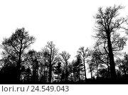 Купить «Leafless bare trees isolated on white sky», фото № 24549043, снято 7 ноября 2015 г. (c) EugeneSergeev / Фотобанк Лори