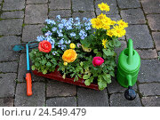 Купить «Flowers, differently, watering can, heel, Eintopfen, garden, garden flowers, ornamental flowers, Ranunculus, Ranunkel, forget-me-not, Gemswurz, blossoms, passed away, paving-stones,», фото № 24549479, снято 18 июня 2008 г. (c) mauritius images / Фотобанк Лори