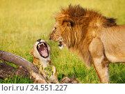 Купить «Portrait of roaring lion and lioness at savannah», фото № 24551227, снято 18 августа 2015 г. (c) Сергей Новиков / Фотобанк Лори
