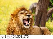 Купить «Close-up portrait of an old yawning lion», фото № 24551275, снято 18 августа 2015 г. (c) Сергей Новиков / Фотобанк Лори