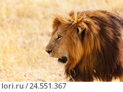Купить «Portrait of lion with bushy mane in nature habitat», фото № 24551367, снято 19 августа 2015 г. (c) Сергей Новиков / Фотобанк Лори