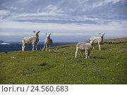 Купить «Shetland islands, Main country, coast, sheep, graze,», фото № 24560683, снято 15 июня 2010 г. (c) mauritius images / Фотобанк Лори