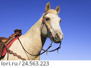 Купить «Horse, Palomino, western bridle, portrait, USA, Wyoming, Shell,», фото № 24563223, снято 19 августа 2018 г. (c) mauritius images / Фотобанк Лори
