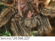 Купить «Vogel's spider, head, close up,», фото № 24566227, снято 1 марта 2011 г. (c) mauritius images / Фотобанк Лори