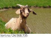 Купить «Domestic goat, Capra aegagrus hircus, side view, lying, meadow, shore, looking at camera,», фото № 24568735, снято 22 июля 2018 г. (c) mauritius images / Фотобанк Лори