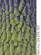 Купить «Common oak, Quercus robur, bark, lichens, close up, trunk, crust, oak, oaken strain, broad-leaved tree, sample, nature, plant, tree, summer oak, strain, structure, icon,», фото № 24570107, снято 21 июля 2008 г. (c) mauritius images / Фотобанк Лори
