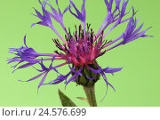 Купить «Perennial cornflower, Centaurea Montana,», фото № 24576699, снято 30 сентября 2010 г. (c) mauritius images / Фотобанк Лори