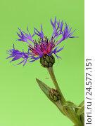 Купить «Perennial cornflower, Centaurea Montana,», фото № 24577151, снято 30 сентября 2010 г. (c) mauritius images / Фотобанк Лори