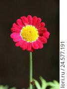 Купить «Margerite, chrysanthemum,», фото № 24577191, снято 30 сентября 2010 г. (c) mauritius images / Фотобанк Лори