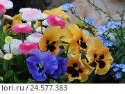 Купить «Pansies, daisies and forget-me-not,», фото № 24577383, снято 30 сентября 2010 г. (c) mauritius images / Фотобанк Лори