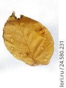 Купить «Leaves, dye, drops water, autumn, rain, raindrop, drop, water, yellow, studio, cut out,», фото № 24580231, снято 16 апреля 2008 г. (c) mauritius images / Фотобанк Лори