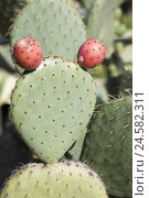 Купить «Opuntien, cactus, Catalonia, Spain, nature, plants, cactus stings, stings, spiny, cactus fruits, fruits, prickly pears, fig cacti, Nopal, red, nobody,», фото № 24582311, снято 20 мая 2008 г. (c) mauritius images / Фотобанк Лори