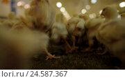 Купить «Chicken Farm poultry production», видеоролик № 24587367, снято 30 сентября 2016 г. (c) Илья Насакин / Фотобанк Лори
