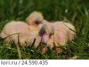 Купить «Homing pigeons, chicks, meadow, lie, view in the camera,», фото № 24590435, снято 1 июня 2011 г. (c) mauritius images / Фотобанк Лори