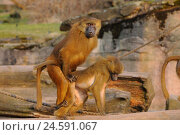 Купить «Guinea baboons, Papio papio, mating, side view, stand, view in the camera,», фото № 24591067, снято 3 июня 2011 г. (c) mauritius images / Фотобанк Лори