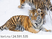 Купить «Siberian tiger, Panthera tigris altaica, young animal, snow, side view, lie, view in the camera,», фото № 24591535, снято 14 июня 2011 г. (c) mauritius images / Фотобанк Лори