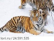 Купить «Siberian tiger, Panthera tigris altaica, young animal, snow, side view, lie, view in the camera,», фото № 24591535, снято 14 июня 2011 г. (c) mauritius images / Фотобанк Лори