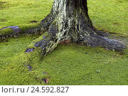 Купить «Tree root, root, trunk, tree bark, moss, green,», фото № 24592827, снято 16 ноября 2007 г. (c) mauritius images / Фотобанк Лори