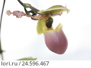 Купить «Orchid, blossom, detail, women's shoe, Paphiopedilum, flower, exotic, tropical, admirably, plant, beauty, petals, dusky pink, pink, stalk, flower stalk, medium close-up, Orchidaceae,», фото № 24596467, снято 15 июня 2007 г. (c) mauritius images / Фотобанк Лори