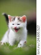 Купить «House cat, young animal, meadow,», фото № 24600527, снято 6 ноября 2007 г. (c) mauritius images / Фотобанк Лори