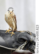 Купить «Peregrine falcon, Falco peregrinus, Falkenr, detail, leather ball glove,», фото № 24600823, снято 16 ноября 2007 г. (c) mauritius images / Фотобанк Лори