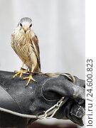 Купить «Peregrine falcon, Falco peregrinus, Falkenr, detail, leather ball glove,», фото № 24600823, снято 16 ноября 2007 г. (c) mauritius images / Фотобанк Лори