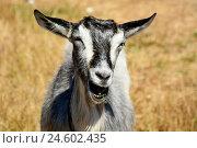 Коза жует траву и улыбается. Стоковое фото, фотограф Галина Голубь / Фотобанк Лори