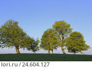 Купить «beech trees, wind beech trees, Fagus sylvatica, crooked, Germany, Baden-Wurttemberg, Black Forest, Schauinsland,», фото № 24604127, снято 10 декабря 2008 г. (c) mauritius images / Фотобанк Лори