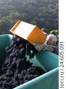 Купить «Vineyard, man, grape harvest,», фото № 24605091, снято 19 августа 2018 г. (c) mauritius images / Фотобанк Лори