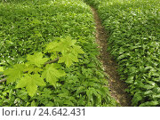Wild garlic, Allium ursinum, path, tree sprout,, фото № 24642431, снято 10 декабря 2008 г. (c) mauritius images / Фотобанк Лори