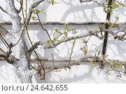 Купить «Pear tree, trellis, wall of a house, detail,», фото № 24642655, снято 17 июня 2019 г. (c) mauritius images / Фотобанк Лори