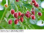 Купить «Fruits of the Orange jessamine, Chinese box, Murraya paniculata, sunlight,», фото № 24642691, снято 17 июня 2019 г. (c) mauritius images / Фотобанк Лори