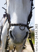 Купить «France, Camargue, horse, detail, head, bridle stuff, medium close-up,», фото № 24643363, снято 6 ноября 2007 г. (c) mauritius images / Фотобанк Лори