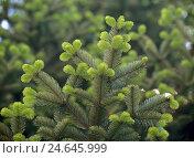 Купить «Veitch fir, Abies veitchii, detail, Showing, Plant, Tree, Conifer, Fir, pine plant, Branches, Fir needles, Silver fir,», фото № 24645999, снято 15 февраля 2008 г. (c) mauritius images / Фотобанк Лори