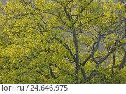 Купить «Oak, Quercus, tree top,», фото № 24646975, снято 22 сентября 2018 г. (c) mauritius images / Фотобанк Лори