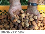 Купить «Hands, walnuts, ripe, nuts, fruit, point, landscape format, Germany, handful,», фото № 24647867, снято 15 сентября 2011 г. (c) mauritius images / Фотобанк Лори