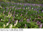 Купить «Concave lark's calcar, Corydalis cava, blossom, scenery,», фото № 24652335, снято 21 июня 2018 г. (c) mauritius images / Фотобанк Лори