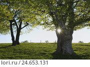 beech trees, Fagus sylvatica, Germany, Baden-Wurttemberg, Black Forest, Schauinsland,, фото № 24653131, снято 10 декабря 2008 г. (c) mauritius images / Фотобанк Лори