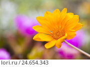 Купить «Orange Gazania blossom, Asteraceae family, Italy, Sardinia,», фото № 24654343, снято 23 мая 2018 г. (c) mauritius images / Фотобанк Лори