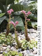Купить «Hauswurz, the spinning web-Hauswurz, Sempervivum, Sempervivum arachnoideum,», фото № 24654351, снято 9 декабря 2011 г. (c) mauritius images / Фотобанк Лори
