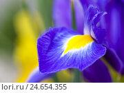 Купить «Blossom of a dwarf's iris, Iridaceae, selective focus, Italy, Sardinia,», фото № 24654355, снято 26 апреля 2018 г. (c) mauritius images / Фотобанк Лори