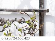 Купить «Pear tree, trellis, outside wall, detail,», фото № 24656423, снято 22 ноября 2010 г. (c) mauritius images / Фотобанк Лори