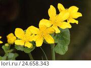 Купить «Marsh marigold,», фото № 24658343, снято 15 апреля 2012 г. (c) mauritius images / Фотобанк Лори