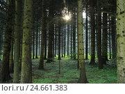 Купить «Spruce forest, Norway spruces, Picea abies, Upper Palatinate, Bavaria, Germany,», фото № 24661383, снято 17 июля 2018 г. (c) mauritius images / Фотобанк Лори