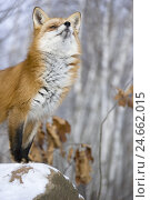 Купить «Red fox, Vulpes vulpes, rocks, winters,», фото № 24662015, снято 14 февраля 2008 г. (c) mauritius images / Фотобанк Лори