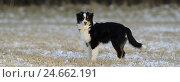 Купить «Australian Shepherd, young dog, side view,», фото № 24662191, снято 20 сентября 2018 г. (c) mauritius images / Фотобанк Лори